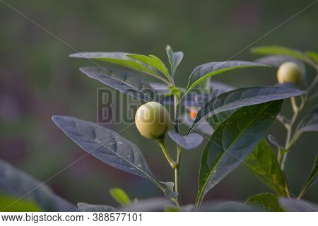 False Jerusalem Cherry. Latin Name - Solanum Pseudocapsicum. Leaves And Fruit Growing From Solanum P