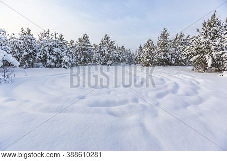 Snow Covered Pine Trees. Winter Landscape. Russia, Moscow Region
