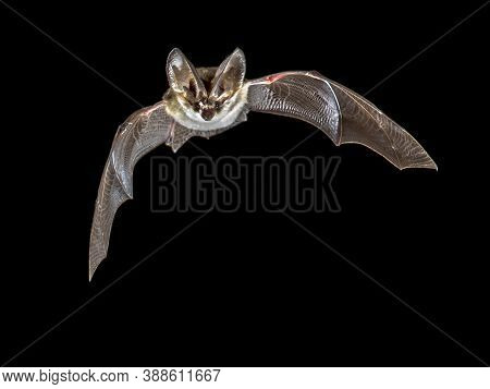Flying Bat Isolated On Black Background. The Grey Long-eared Bat (plecotus Austriacus) Is A Fairly L