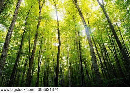 Autumn Forest Of Beech Trees With The Sun Illuminating The Green Treetops, Nature Green Wood Backgro