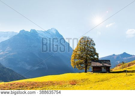 Picturesque autumn landscape with orange tree and green meadow in Grindelwald village in Swiss Alps