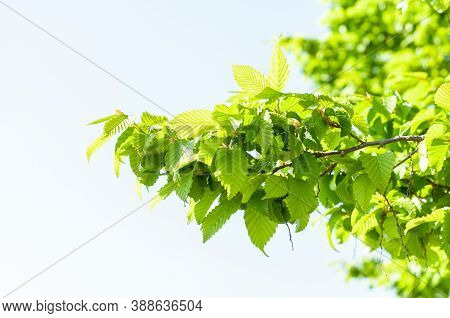 A Branch Of A Common Hornbeam On A Sunny Day In Summer With Fresh Green Leaves