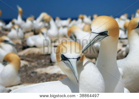 Gannet Colony at Cape Kidnappers
