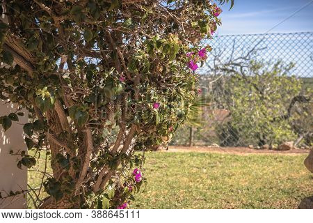 Bougainvillea Flower On A Sunny Winter Day