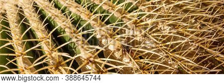 Panoramic Background From The Cactus With Spines. Closeup Of Spines On Cactus