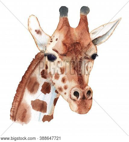Realistic Portrait Of Giraffe. Hand Drawn Watercolor Illustration Isolated On White Background