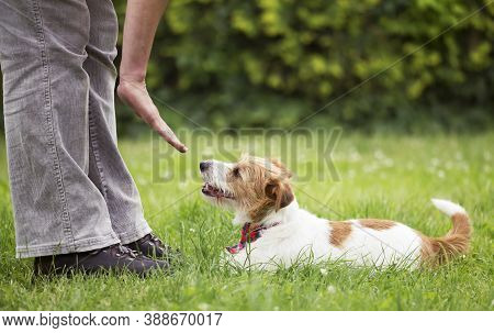 Trainer Teaching A Cute Smart Jack Russell Terrier Dog Puppy In The Grass. Pet Obedience Training Co