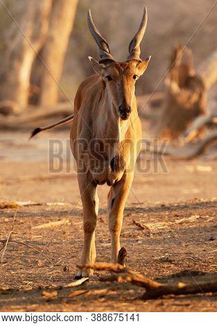 Common Eland - Taurotragus Oryx Also The Southern Eland Or Eland Antelope, Savannah And Plains Antel
