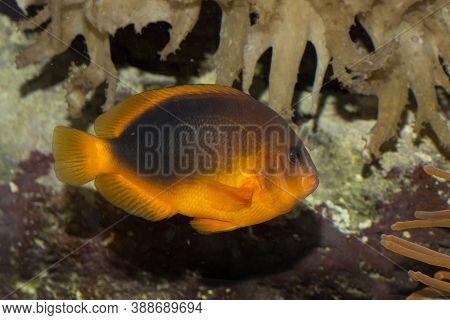 The Saddle Anemonefish  (amphiprion Ephippium) In Aquarium.