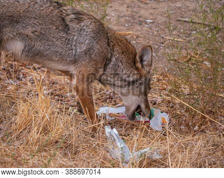 Coyote (canis Latrans) Picking Through Discarded Fast Food Trash For Scraps. An Example How Litterin