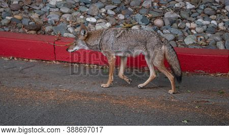Coyote (canis Latrans) Wandering Around In Paved Urban Environment