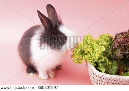Adorable Little Young Black And White Rabbits Eating Green Fresh Lettuce Leaves In Basket While Sitt