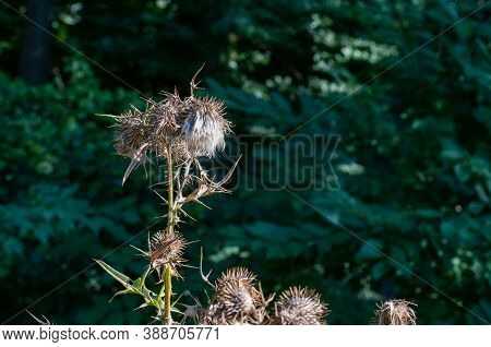 Close-up Of The Flower Head Of A Wilted Thistle At Forest Edge In Sunlight