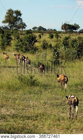 The African Wild Dog, African Hunting Dog, Or African Painted Dog (lycaon Pictus), Leaving The Pack.