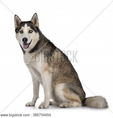 Beautiful Young Adult Husky Dog, Sitting Side Ways. Looking Towards Camera With Light Blue Eyes. Mou