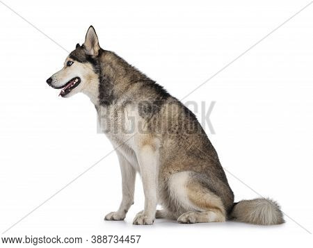 Beautiful Young Adult Husky Dog, Sitting Side Ways. Looking Straight Ahead With Light Blue Eyes. Mou