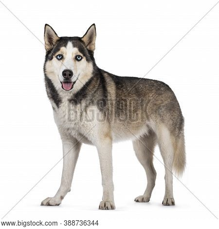 Pretty Young Adult Husky Dog, Sitting Side Ways. Looking Towards Camera With Light Blue Eyes. Isolat