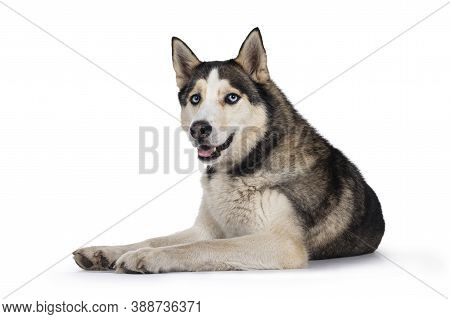 Pretty Young Adult Husky Dog, Laying Down Side Ways. Looking Towards Camera With Light Blue Eyes. Is