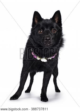 Cute Solid Black Schipperke Dog, Standing Facing Front Wearing Flowers Around Neck. Looking Curious