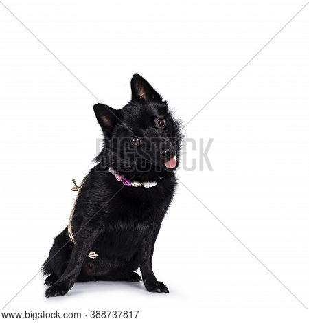 Cute Solid Black Schipperke Dog, Sitting Slightly Side Ways Wearing Flowers Around Neck. Looking Cur