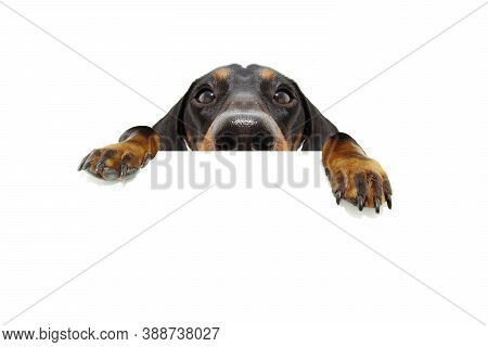 Close-up Hide Black Dachshund Dog Looking And Hanging Paws Over A Blank Sign With Room For Text. Iso