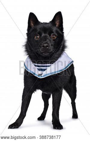 Cute Solid Black Schipperke Dog, Standing Slightly Side Ways Wearing Sailor Collar Around Neck. Look