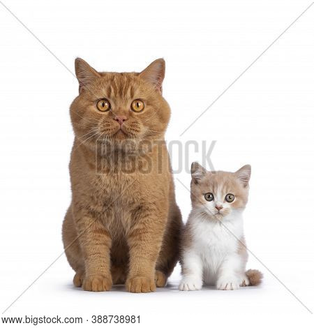 Cute Creme With White Bicolor British Shorthair Cat Kitten, Sitting Facing Front Beside Adult Red Ma