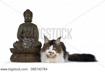 Handsome Young Maine Coon Cat, Laying Down Beside Budha Statue. Looking Straight Forward. Isolated O