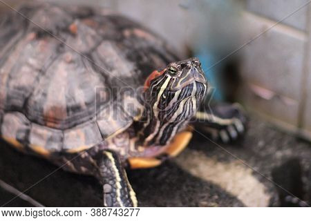 Red Eared Slider Close-up. Side View Pet Turtle Red-eared Slider