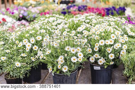 Beautiful Daisy Flowers In Vases Inside A Greenhouse. Shallow Dept Of Field, May Be Used As Backgrou