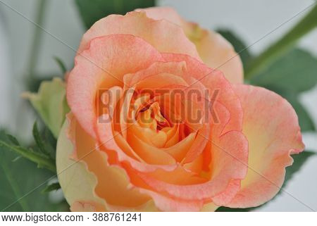 Very Beautiful Delicate Light Rose Close Up