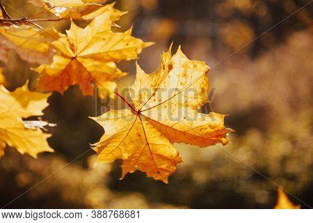 Autumn Maple Leaves Sunlight Backlit. Autumn Maple Leafs Fall. Maple Leaves Backlit In Autumn. Autum
