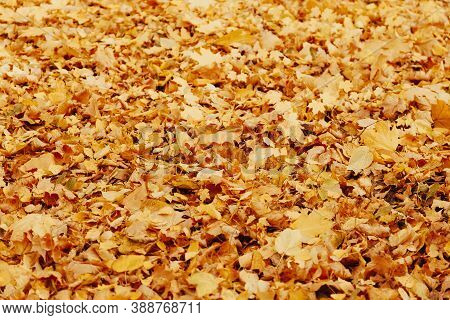 Autumn Background With Colorful Maple Leaves Laying On The Ground. Natural Yellow Leaf Carpet. Folia