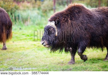 Alaska Muskox Close Up Portrait In The Wilderness