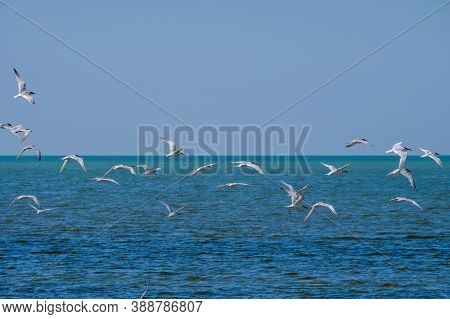 A Flock Of Seagulls Flying In A Cloudless Sky Over The Surface Of The Blue Sea. Free Wild Birds In T