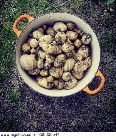 Pot With Orange Handles Containing Newly Dug Up Potatoes Covered With Earth