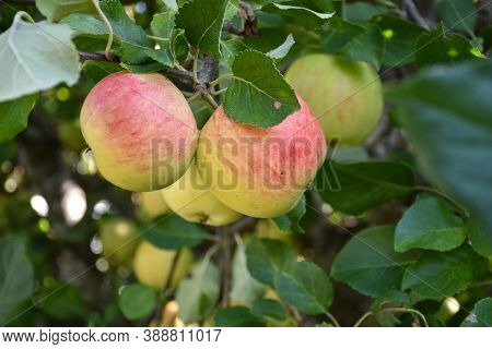Redish Apples On A Twig In A Green Apple Tree