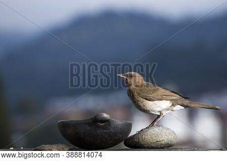 Black Beak Thrush - Turdus Ignobilis Turdidae