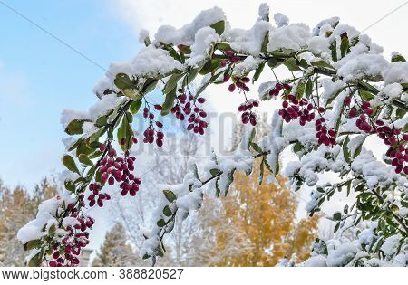First Fluffy Snow On Green Leaves Of Barberry Bush Twigs With Red Ripe Berries Close Up On Blurred A
