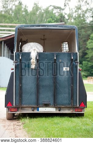 One Gray Horse With Plaited Ponytail Standing In Trailer Waiting For Competition. Summertime Outdoor