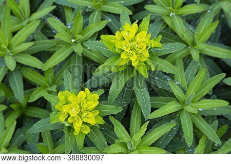 Green Foliage Of Plant Cushion Spurge  (euphorbia Epithymoides, Euphorbia Polychroma) In Dew Drops,