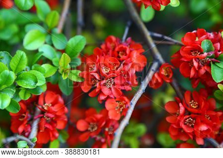Japanese Quince Blooming With Red Flowers Against The Background Of Green Foliage Close-up. Abstract