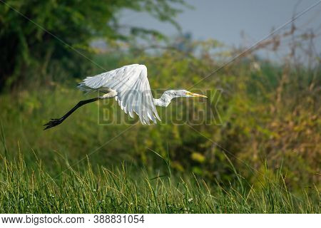 Intermediate Egret .a Stocky Egret That Is Larger Than Cattle And Little Egrets, But Smaller Than Th
