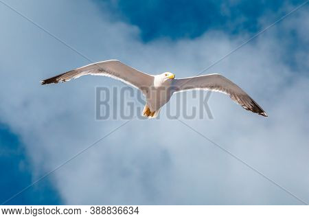 Seagull Flying On The Sea. Elba Island, Italy. A Standing European Herring Gull, Larus Argentatus, A