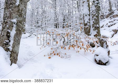 Snow-covered Trees In The Forest. Snow On Autumn Yellow Leaves. Beech Forest. Concept Of The Arrival