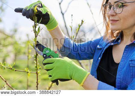 Spring Pruning Garden, Woman Gardener With Garden Scissors In Her Hands Makes Pruning Of Branches On