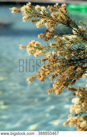 Tamarisk Bush In Full Bloom With A Blue Swimming Pool