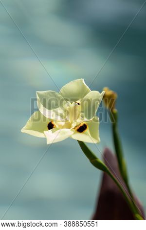 Single African Lilly Flower In Full Bloom