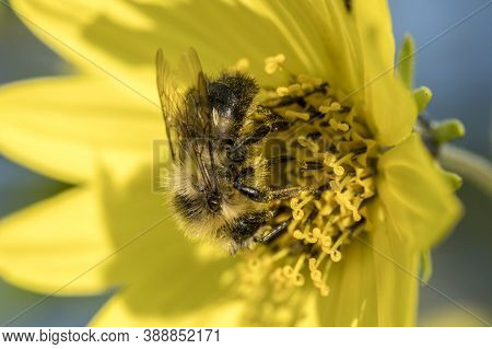 A Honeybee Is On A Yellow Flower Gathering Pollen In North Idaho.