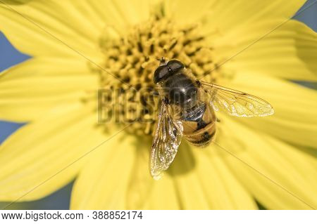 A Large Mimic Fly Lands On A Pretty Yellow Flower In North Idaho.